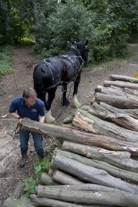 Stacking logs rideside, extracted from woodland by a heavy horse