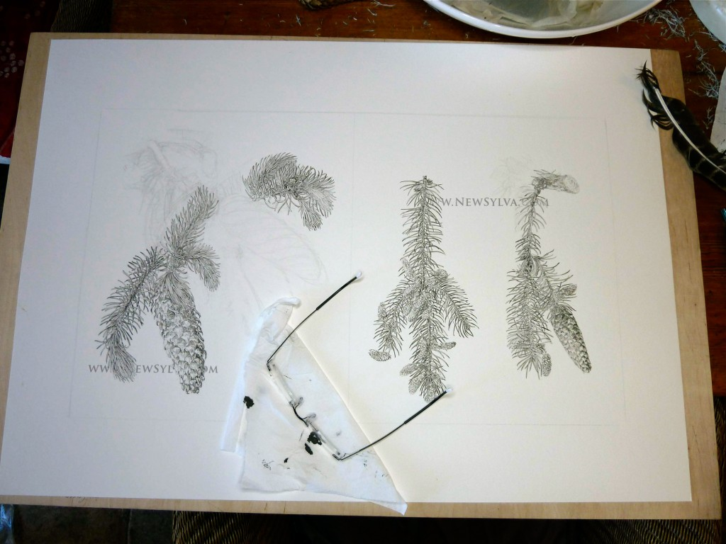 Norway spruce drawings in progress by Sarah Simblet