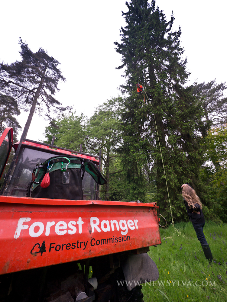 Norway Spruce climbing at Westonbirt Arboretum