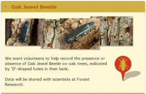 Oak jewel beetle survey on TreeWatch