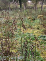 ash coppice stools infected with Chalara fraxinea
