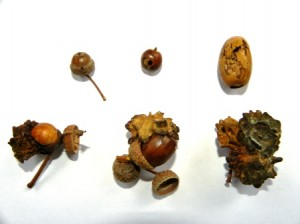 Problem acorns: small, rotten or infected with Knopper Galls
